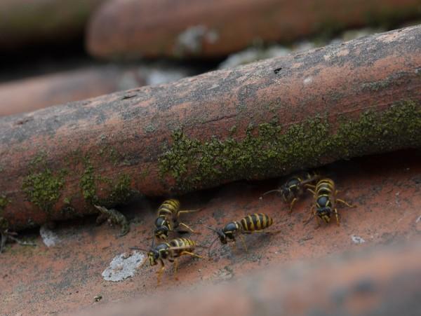 wasps1